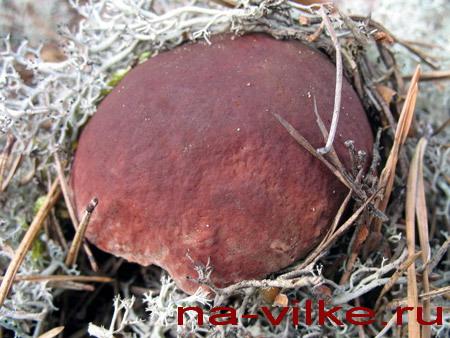 Белый гриб во мху