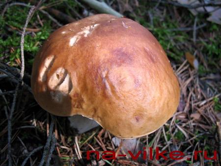 Белый гриб вырос