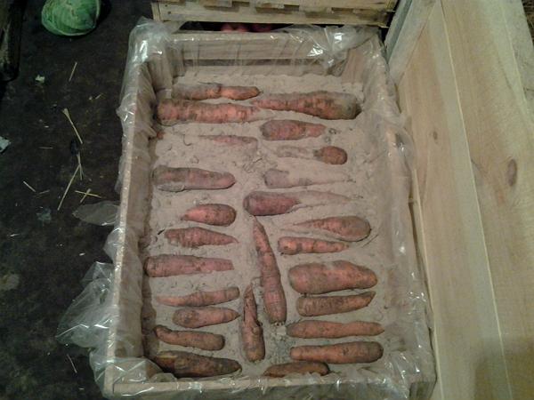 hranenie-morkovi-4