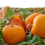 Особенности сохранения тыквы на зиму