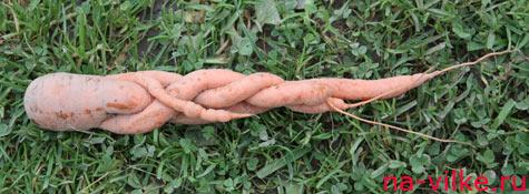 Морковь заплелась косичкой