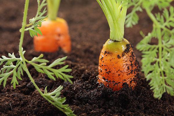 hranenie-morkovi-2