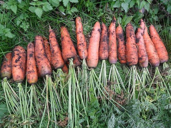 hranenie-morkovi-3